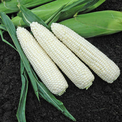 Sweet Corn Xtra-Tender Natural Bright XR F1 Organic