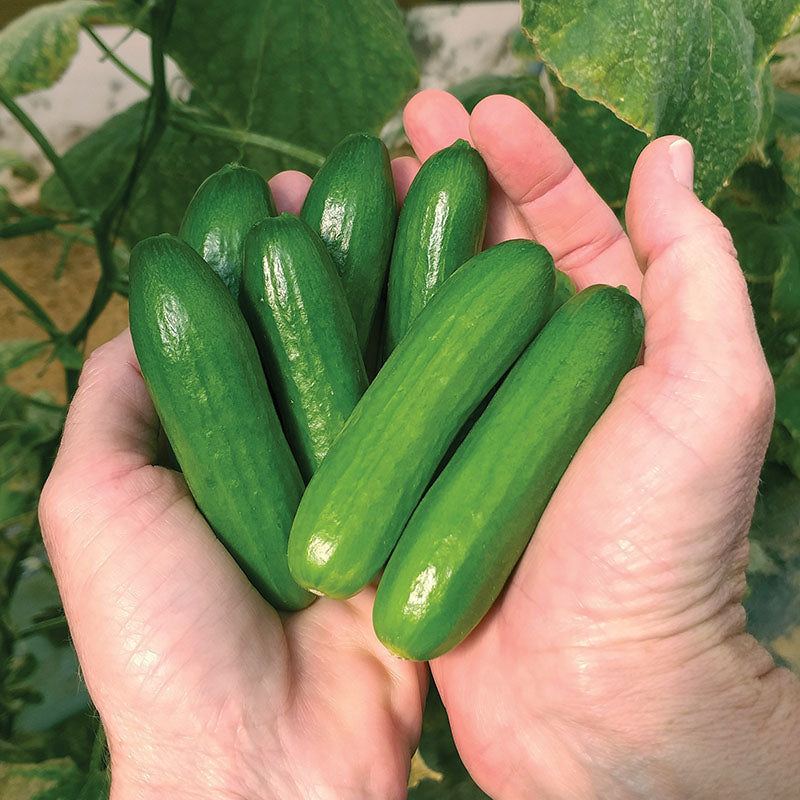 Cucumber Mini-me F1 Organic Seeds
