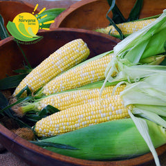 Sweet Corn Epiphany F1