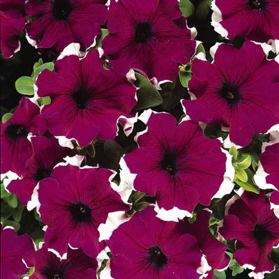 Petunia Dreams Picotee Burgundy F1