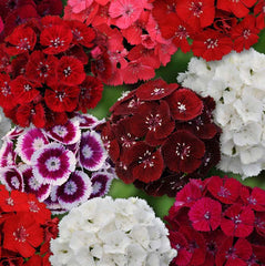 Dianthus Sweet Mix F1