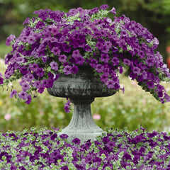 Trailing/Spreading Petunias