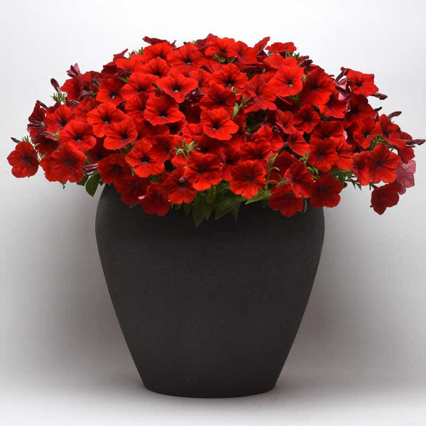 Petunia Easy Wave Red F1