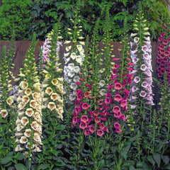 Digitalis Camelot Mix F1