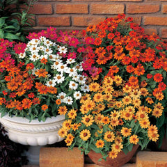 Zinnia Profusion 5 Color Mix