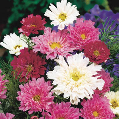 Cosmos Double Click Extra Mix Seeds