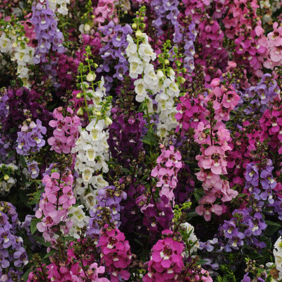 Angelonia Serena Mix F1 Harris Seeds