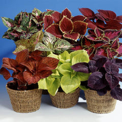 Coleus Giant Exhibition Mix