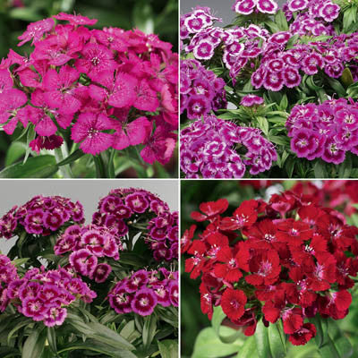Dianthus Barbarini Mix F1