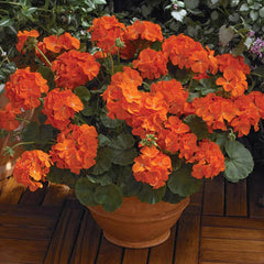 Geranium Maverick Orange F1
