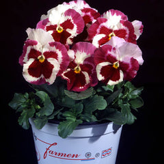 Pansy Desiderio Tricolor Orchid F1