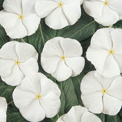 Vinca Pacifica XP Pure White