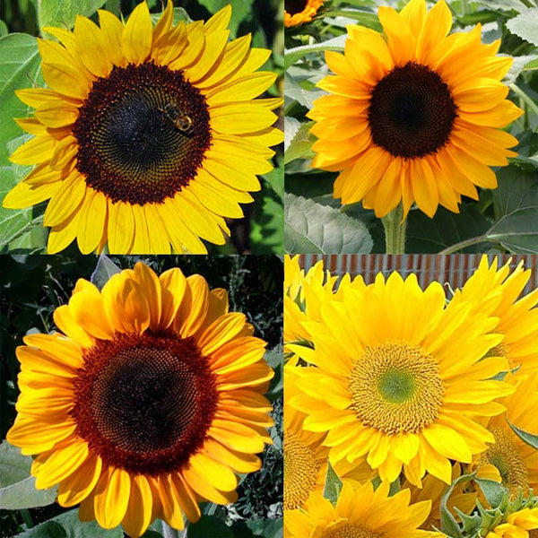 Sunflower Pollen-Free Collection