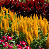 Celosia Fresh Look Gold
