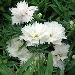 Dianthus Grace White F1