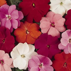 Impatiens New Guinea Divine Mix F1