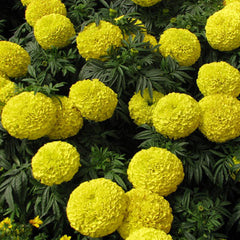 Marigold Moonstruck Yellow F1