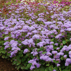 Ageratum Blue Planet F1