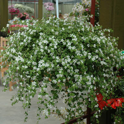 Bacopa Snowtopia White