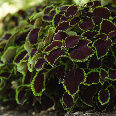 Coleus Chocolate Mint on house plant strawberry, house plant ginger, house plant candy cane, house plant sage, house plant lime, house plant pineapple, house plant banana,