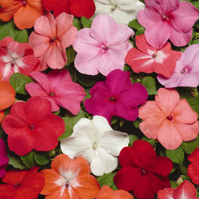 Impatiens Super Elfin XP Mix F1