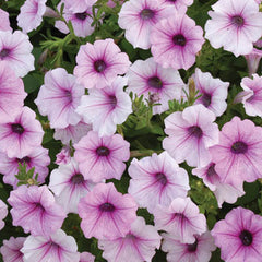 Petunia Shock Wave Pink Vein F1