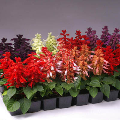 Salvia Reddy Mix Harris Seeds