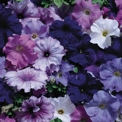 Petunia Aladdin Nautical Mix F1
