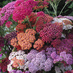 Achillea Flowerburst Red Shades