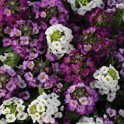 Alyssum Clear Crystals Mix Seeds