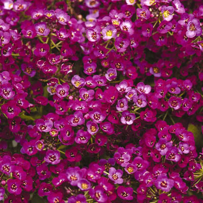Alyssum Clear Crystals Purple Shades