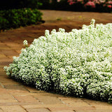 Alyssum Clear Crystals White