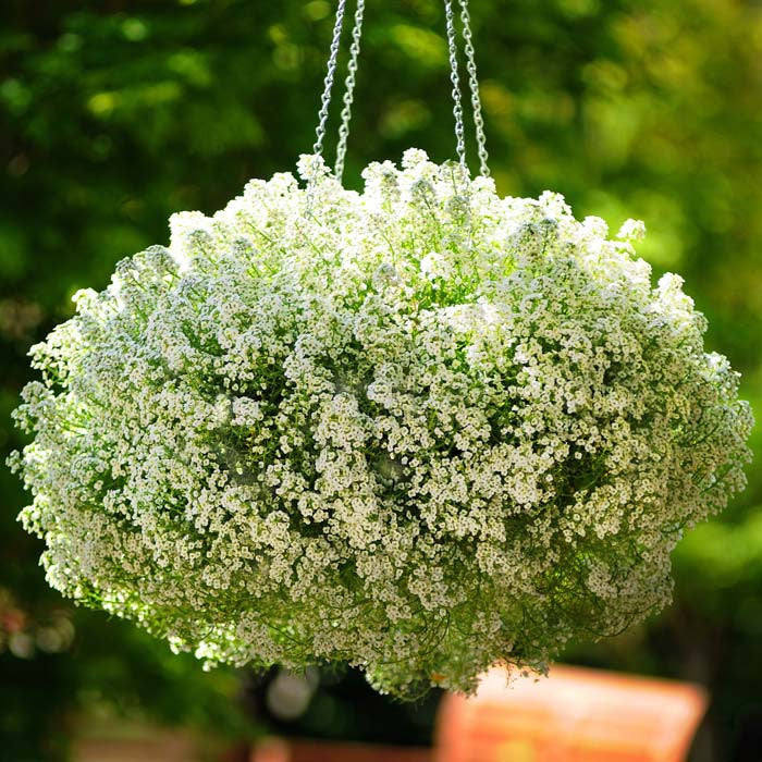 Alyssum Clear Crystals White Seeds