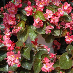Begonia BIG Bronze Leaved Rose F1