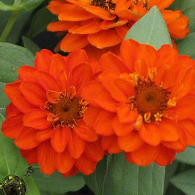 Zinnia Profusion Double Fire