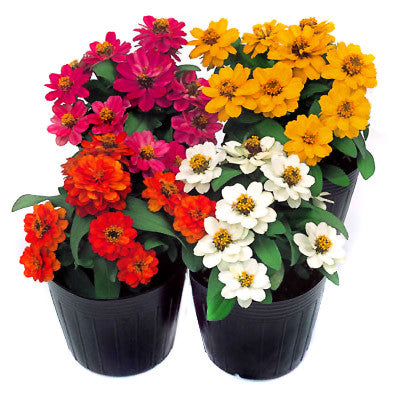 Zinnia Profusion Double Mix Seeds