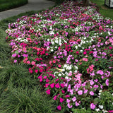 Impatiens New Guinea Divine Mystic Mix F1