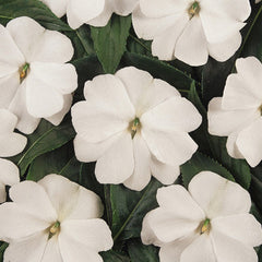 Impatiens New Guinea Divine White F1