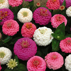 Zinnia Edwardian Mix