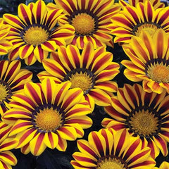 Gazania Big Kiss Yellow Flame F1