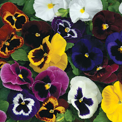Pansy Mammoth Mix F1