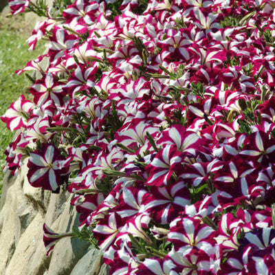 Petunia Easy Wave Burgundy Star F1