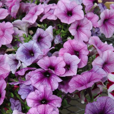 Petunia Easy Wave Plum Vein F1