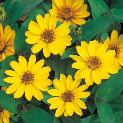 Zinnia Profusion Yellow Seeds