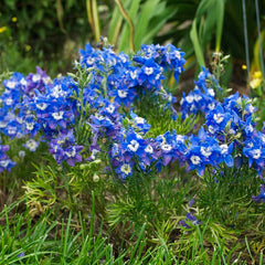Delphinium Summer Cloud