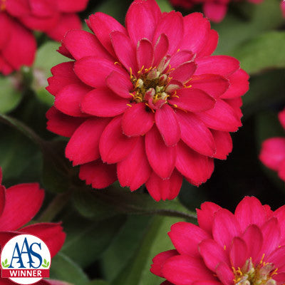 Zinnia Zahara Double Cherry