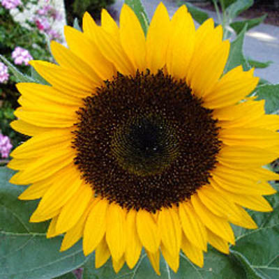Sunflower Dafna F1 Harris Seeds