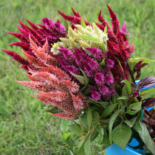 Celosia Celway Mix