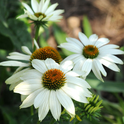 Echinacea Powwow White Harris Seeds