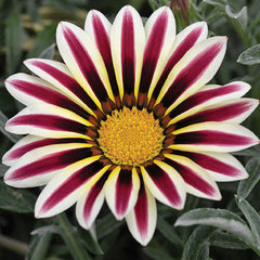 Gazania Frosty Kiss White Flame F1